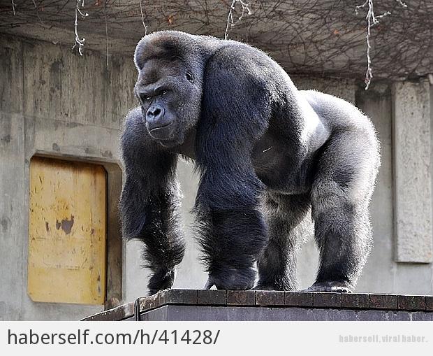 Goril Kadına Tecavüz Ediyor